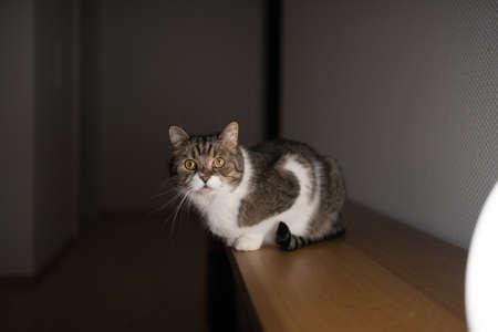 tabby white british shorthair cat sitting on bench illuminated by floor light