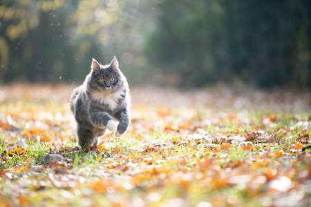 blue tabby maine coon cat running outdoors on grass covered with autumn leaves 写真素材 - 150643005