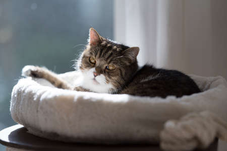 tabby white british shorthair cat relaxing in pet bed on top of scratching pole in the sunlight 写真素材 - 150643100