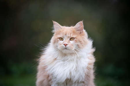 cute maine coon cat outdoors fluffy fur moving in the wind 写真素材 - 150643040