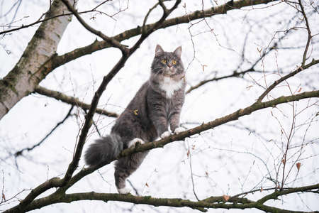blue tabby maine coon cat climbing on branch of a bare birch tree outdoors in nature during wintertime looking at garden 写真素材 - 150642588