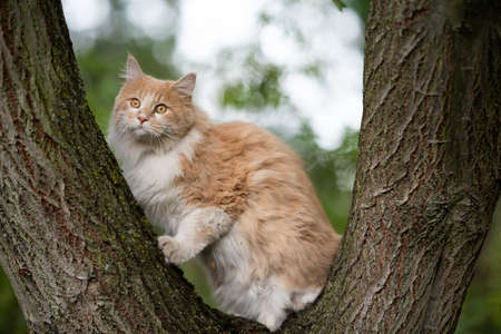 young cream tabby white ginger maine coon cat climbing resting on a tree fork looking curiously outdoors in the garden on a summer day