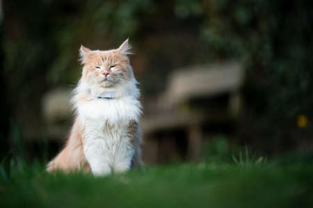 beige white maine coon cat sitting outdoors on lawn wearing gps tracker attached to collar 写真素材