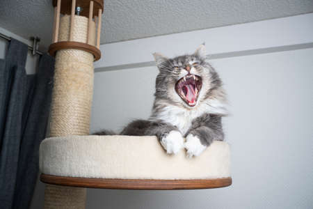 tired gray white maine coon longhair cat resting on scratching post pet bed platform yawning 写真素材 - 150643855