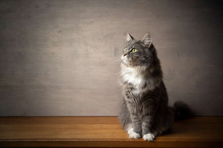 portrait of a cute blue tabby white maine coon cat sitting on wooden table looking to the upper side with copy space 写真素材 - 150643575