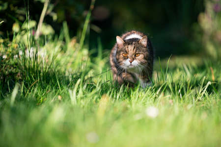 tabby cat lurking in high grass outdoors in nature hunting 写真素材 - 150643567