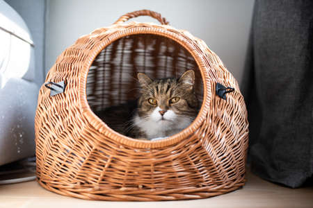 tabby white british shorthair cat resting in pet carrier basket indoors looking out at camera between couch and curtain 写真素材 - 150643257