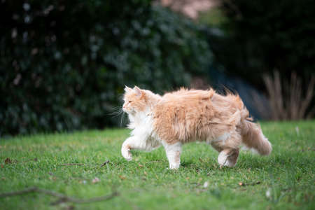 cream tabby maine coon cat walking onn grass outdoors in garden on a windy day