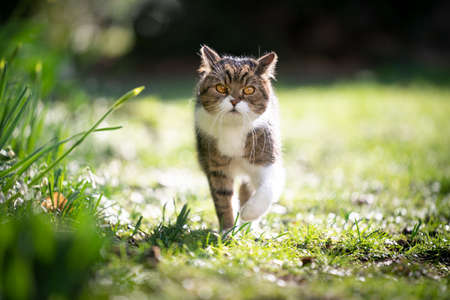 cute tabby white british shorthair cat looking walking towards camera on green grass in spring sunlight 写真素材 - 150643977