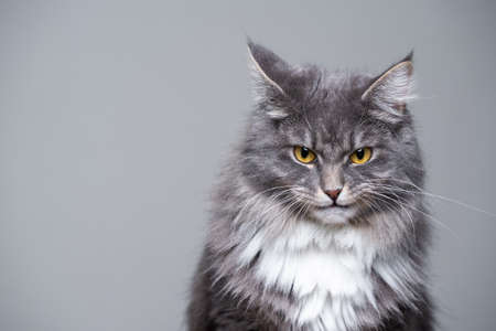 studio portrait of a cute gray white fluffy maine coon longhair cat making a funny face looking grumpy or angry with copy space 写真素材 - 150645426