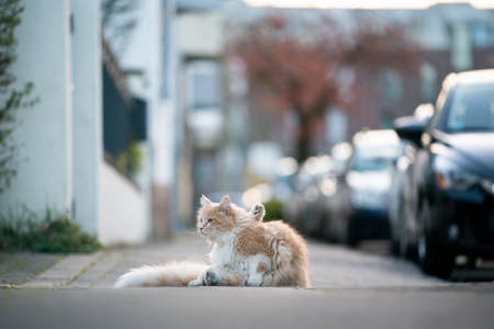 curious maine coon cat resting on sidewalk next to public street and parking cars