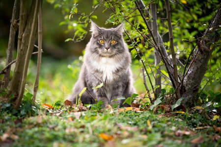 young blue tabby maine coon cat sitting under a bush between various plants in nature looking at camera 写真素材 - 150645899