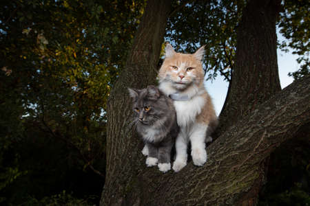 two maine coon cats standing on tree in the evening observing the garden looking at camera. one animal is wearing a gps tracker attached to collar 写真素材 - 150646273