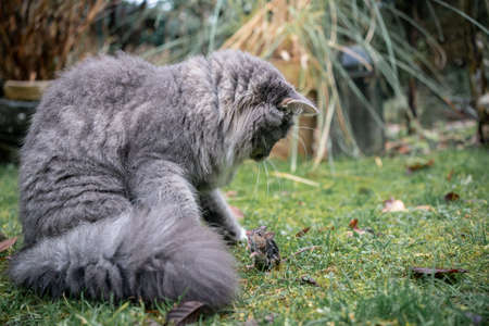 blue tabby maine coon cat hunting down a mouse outdoors in the garden on wet grass face to face 写真素材 - 150645977
