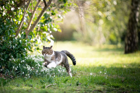 cute tabby white british shorthair cat running fast outdoors in the garden on a sunny spring day 写真素材 - 150646639