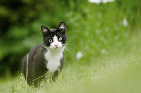 black and white cat hunting in high grass lawn area looking at camera