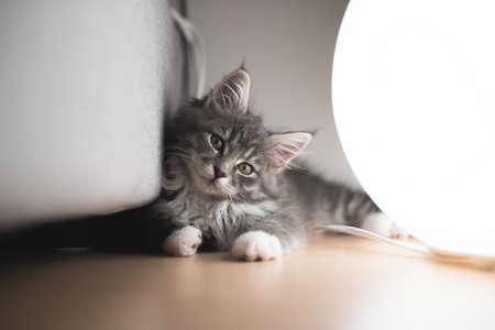 blue tabby maine coon kitten lying on the floor illuminated by floor lamp