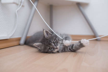 blue tabby maine coon kitten lying on the floor playing with notebook charging cable