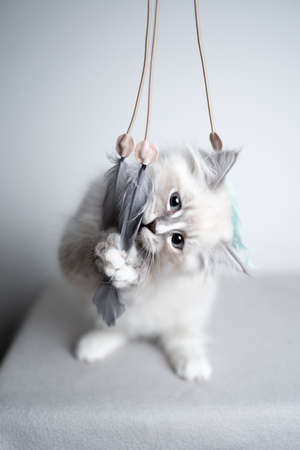 cute blue silver tabby point white ragdoll kitten playing with cat feather toy