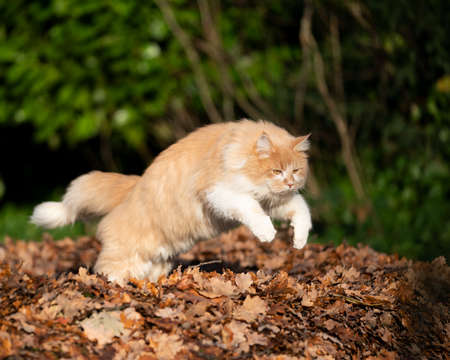 cream tabby maine coon cat outdoors hunting jumping on a pile of autumn leaves in the sunlight