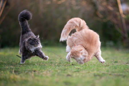 two playful maine coon cats chasing each other outdoors in garden running side by side attacking
