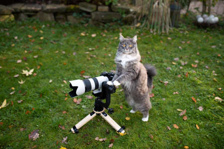 young maine coon cat standing behind mirrorless camera with tele lens on a wooden tripod with gimbal looking at camera like a photographer