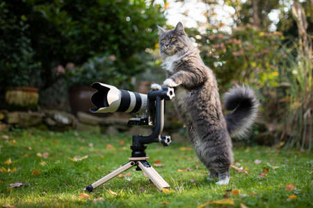 young maine coon cat with white paws standing behind mirrorless camera with tele lens on a wooden tripod with gimbal looking like a photographer