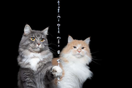 two playful curious maine coon cats looking at water jet on black background raising paw to reach drops