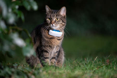 tabby domestic shorthair cat outdoors in nature wearing gps tracker attached to collar observing the garden at night Stock fotó - 151147376