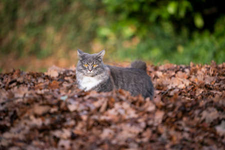 blue tabby maine coon cat standing inside a pile of autumn leaves looking at camera outdoors in nature