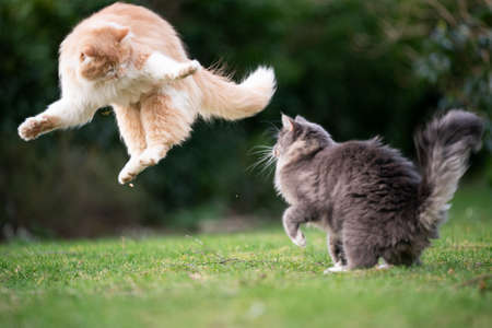 funny playful cats fighting in garden jumping up in the air