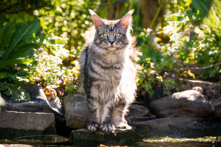 beautiful silver tabby maine coon cat standing at the edge of a pond outdoors in garden looking at camera