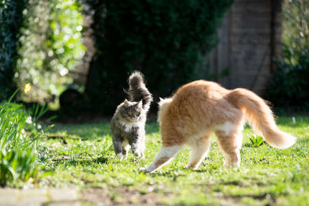 two maine coon cats meeting outdoors in garden facing each other on a sunny day Banco de Imagens