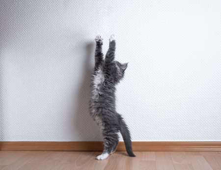 blue tabby white maine coon kitten stretching raising up reaching for something in front of white wall with copy space Foto de archivo