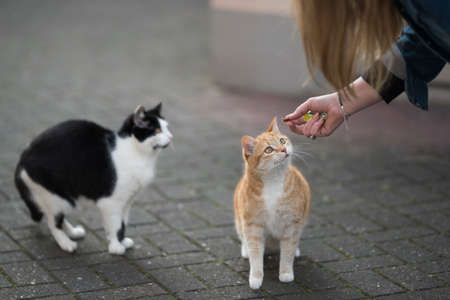 two cats getting fed with treats by female