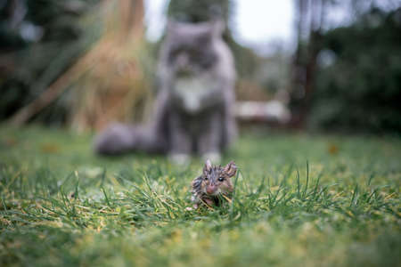 blue tabby maine coon cat standing behind mouse hiding in grass outdoors in garden
