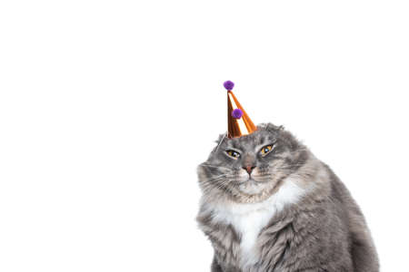 annoyed maine coon cat displeased about wearing a birthday hat looking at camera in front of white background with copy space