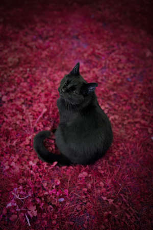 black domestic shorthair cat with ear notch sitting on red grass ground looking evil