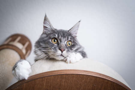 low angle view of a blue tabby maine coon kitten with white paws relaxing on scratching post platform looking down