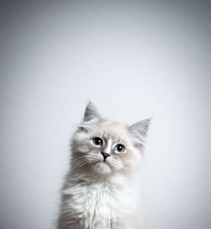 portrait of a cute blue silver tabby point white ragdoll kitten looking at camera tilting head in front of white background with copy space