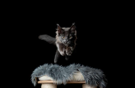 playful maine coon kitten with fluffy tail jumping off scratching post towards camera looking ahead on black background