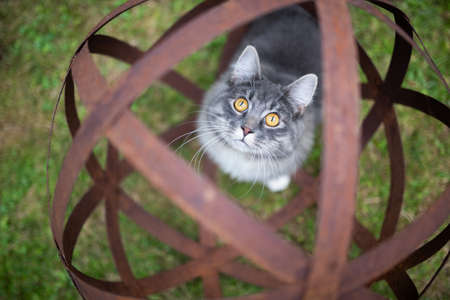high angle view of a young blue tabby maine coon cat standing in a rusty metal garden sphere sculpture looking up at camera curiously