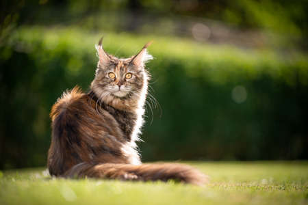 beautiful calico maine coon cat sitting on grass outdoors in sunlight looking back at camera