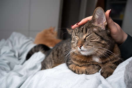 cute tabby cat relaxing on blanket getting head stroked by pet owner in bedroom. another cat resting in the background