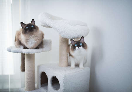 two Seal Bicolour Ragdoll Cats sitting on scratching post looking up curiously