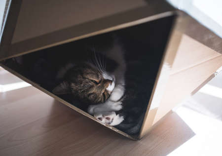 tabby british shorthair cat relaxing in a pet cave made out of carboard box that has the shape of an icosahedron