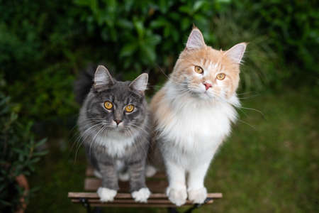 two young curious maine coon cats standing on wooden garden chair moving up begging looking at camera outdoors in the back yard