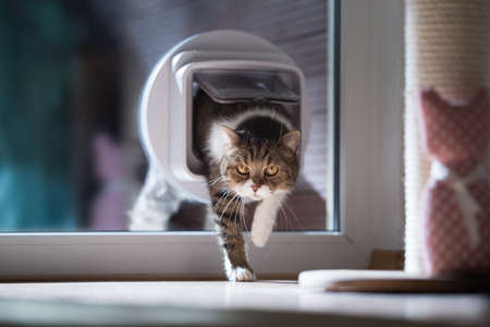 british shorthair cat entering the room by passing through a catflap in window Reklamní fotografie