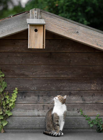 tabby white british shorthair cat sitting under a birdhouse attached to a shed looking up observing the birds waiting