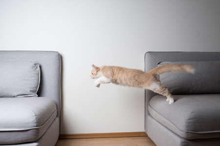 side view of a cream colored maine coon cat jumping from one sofa to another in front of white wall